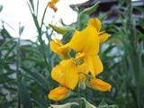 ネコブキラーの花