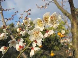 南高梅に花