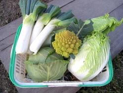 冬野菜収穫