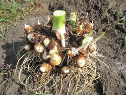 里芋収穫2