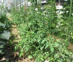 パイプトンネルトマト