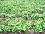 レタス畑1