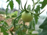 トマトの幼果