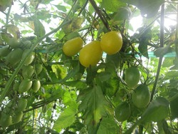 冬のトマト1