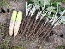 大根と牛蒡収穫
