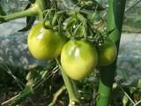 黒トマトの熟れる前