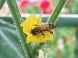 キュウリにミツバチ