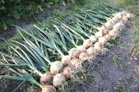 極早生玉ねぎ収穫