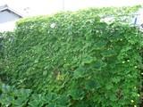 ゴーヤの茂り