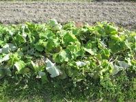 サラダゴボウの畝