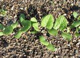 サラダゴボウの発芽