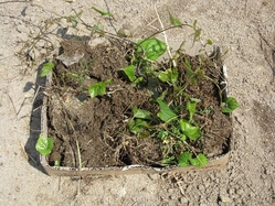 山芋の移植