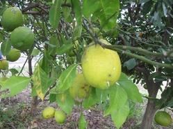 黄色いレモン