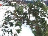 雪の枇杷の木