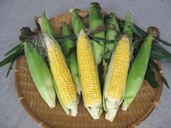 2期トウモロコシ収穫