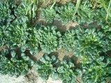タ−サイの栽培
