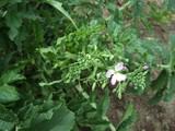 辛味大根の開花