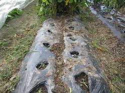 植え穴にマンバ