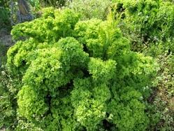 ワサビ菜トウ立ち