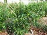 シシトウの木