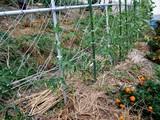 黒トマトの畝