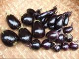 秋茄子収穫