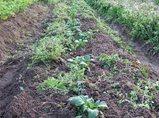 ジャガイモの芽欠き