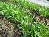 水菜の生長