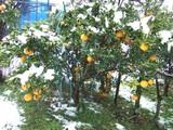 雪の甘夏柑