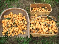 枇杷の収穫