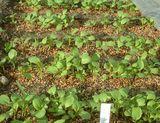 小松菜の幼苗