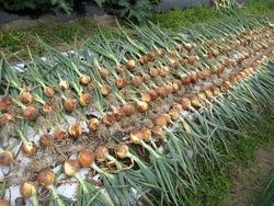 玉ねぎ収穫1