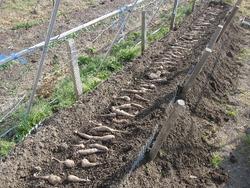 山芋植え付け