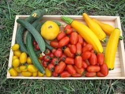 トマトキュウリ収穫