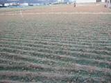 ラッキョ畑