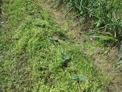 ブロッコリーに草マルチ