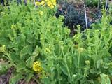 菜花トウ立ち