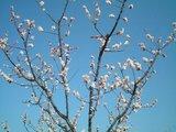 豊後梅の木