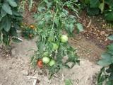 米寿トマト