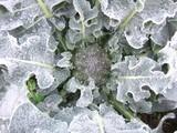 ブロッコリー霜