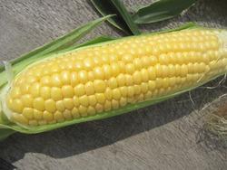 トウモロコシ1