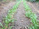 ほうれん草の発芽