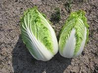 白菜2収穫