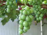葡萄が色付き始め