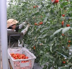 松本収穫2