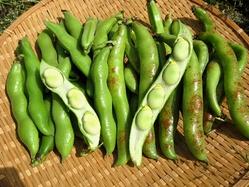 そら豆収穫