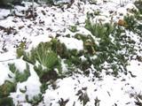 白菜の雪景色