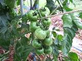 フルティカ中玉トマト