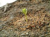 つるなしインゲンの発芽