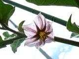 米茄子の花